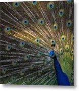 Posing Peacock Metal Print