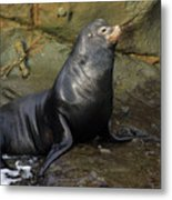Posing Sea Lion Metal Print