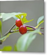 Possum Haw Berries Metal Print