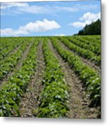 Potato Field Metal Print