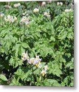 Potato Flower Agriculture Spring Scene Metal Print