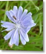 Powder Blue Chicory Metal Print