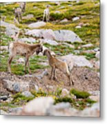 Practicing Baby Bighorn Sheep On Mount Evans Colorado Metal Print