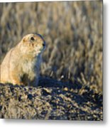 Prairie Dog Watchful Eye Metal Print
