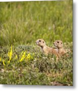 Prairie Dogs On Lookout Metal Print