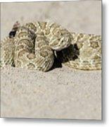 Prairie Rattlesnake  Metal Print