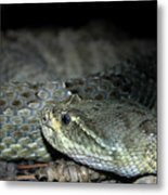 Prarie Rattle Snake Metal Print