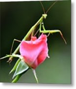 Praying Mantis 2 Metal Print