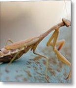 Praying Mantis Close Up Metal Print