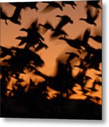 Pre-dawn Flight Of Snow Geese Flock Metal Print