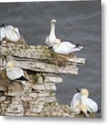 Precarious Nesting Bempton Gannets Metal Print