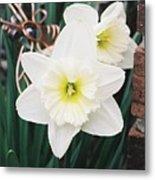 Precious Daffodils Metal Print