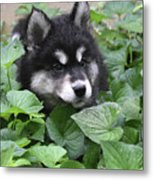 Precious Fluffy Alusky Puppy Dog In Green Foliage Metal Print