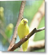 Precious Yellow Budgie Parakeeet In The Wild Metal Print