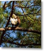 Preening Bald Eagle Metal Print