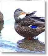 Preening Duck ... Montana Art Photo  Metal Print