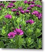 Prescott Park - Portsmouth New Hampshire Osteospermum Flowers Metal Print