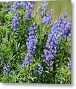 Pretty Blue Flowers Of Silky Lupine Metal Print