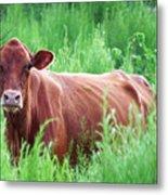 Pretty Brown Cow  Metal Print