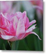 Pretty Candy Striped Pale Pink Tulip In Bloom Metal Print