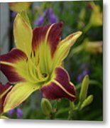 Pretty Flowering Lily In A Garden  Metal Print