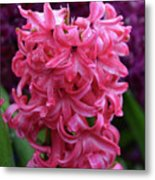 Pretty Hot Pink Hyacinth Flower Blossom Blooming Metal Print
