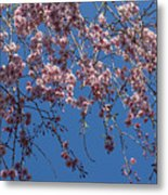 Pretty In Pink - A Flowering Cherry Tree And Blue Spring Sky Metal Print