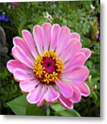 Pretty In Pink Zinnia Metal Print