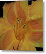 Pretty Orange Daylily Flowering With Pollen On It's Stamen Metal Print