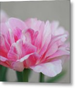 Pretty Pale Pink Parrot Tulip Flower Blossom Metal Print
