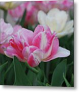 Pretty Pink And White Striped Ruffled Parrot Tulips Metal Print