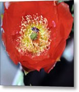 Prickly Pear Blossom With Bee Metal Print