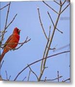 Primary Colours - Northern Cardinal - Cardinalis Cardinalis Metal Print