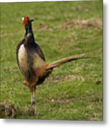 Private Pheasant Metal Print