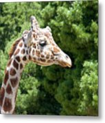 Profile Of A Giraffe Metal Print