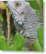 Profile Of A Gray Iguana In The Top Of A Bush Metal Print