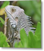 Profile Of A Gray Iguana Perched In A Bush Metal Print
