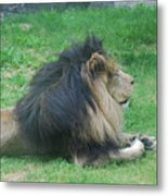 Profile Of A Sleeping Lion In Grass Metal Print