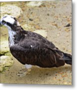 Profile Of An Osprey Bird In The Shallows Metal Print