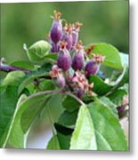 Promise Of Apples To Come Metal Print