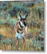 Pronghorn Antelope Amid Fall Foliage Wyoming Metal Print