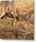 Pronghorn Antelope Bucks Locking Horns Metal Print