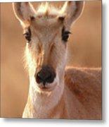 Pronghorn Antelope Doe In Soft Light Metal Print