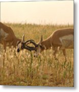 Pronghorn Antelope Sparring In Autumn Field Metal Print