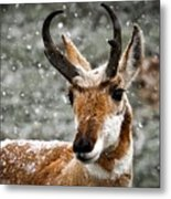 Pronghorn Buck In Snow - Yellowstone National Park Metal Print