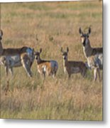Pronghorn Fawns And Their Mothers Metal Print