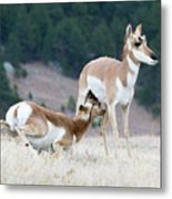 Pronghorn Feeding Metal Print