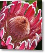 Protea Bloom Metal Print