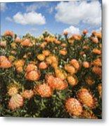 Protea Blossoms Metal Print