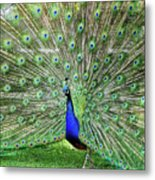 Proud Peacock Metal Print